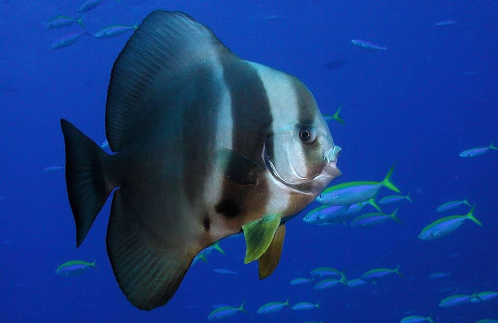 Platax fish