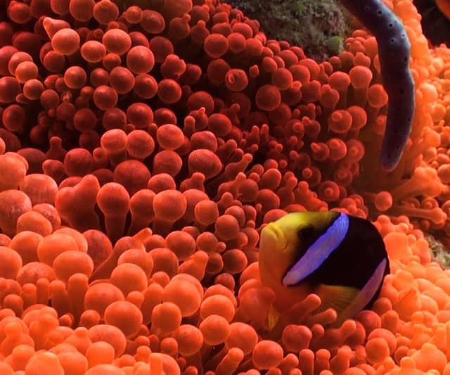 Clark's anemone fish, Maldives