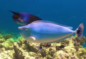 Male and female spotted unicorn fish