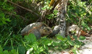 Turtle at Constance Lemuria