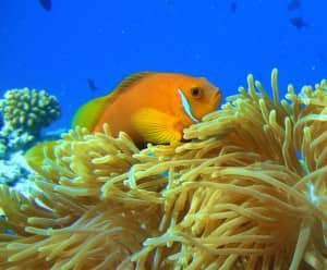 Maldivian clown fish