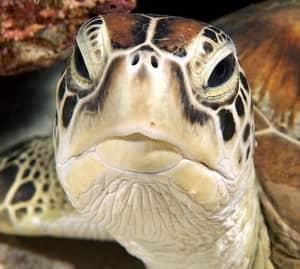 Turtle at Constance Halaveli Resort, Maldives