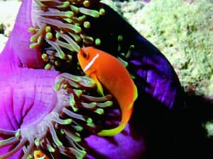 Clown fish, Constance Lodge Tsarabanjina, Madagascar