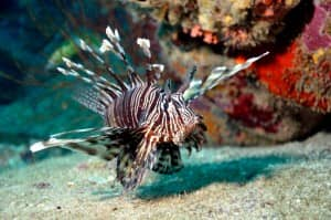 Lion fish at Madagascar