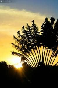 Traveller's Palm, Madagascar