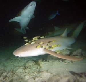 Alimatha night dive at Constance Halaveli, photo copyright Marco Care