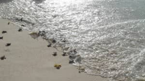 Baby turtles at Constance Lemuria, Seychelles