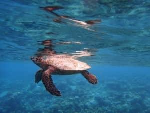 Hawksbill Turtle, Halaveli