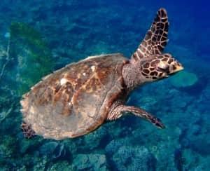 Hawskbill Turtle