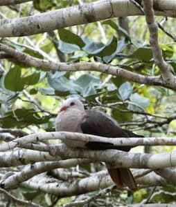Pink  pigeon, Seychelles