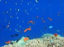 Butterflyfish in the Indian Ocean