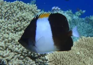 Butterflyfish in the reefs around Halaveli