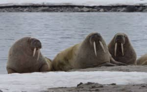 Walrus' relaxing in the Arctic