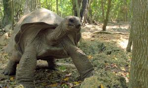 A Giant Aldabra tortoise