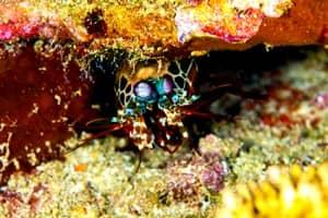 Green Mantis Shrimp at Constance Halaveli, Maldives