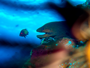 A Moray Eel in the Indian Ocean