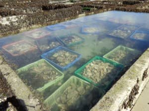 Farming the oysters of Cancale