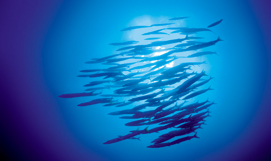 Barracudas swimming in the waters off Tsarabanjina