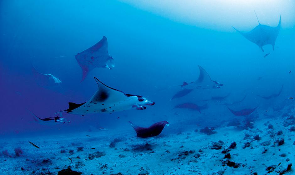 Manta rays at Constance Moofushi, Maldives