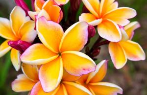 Tropical wedding flowers: Frangipani