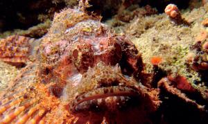 The Scorpion Fish