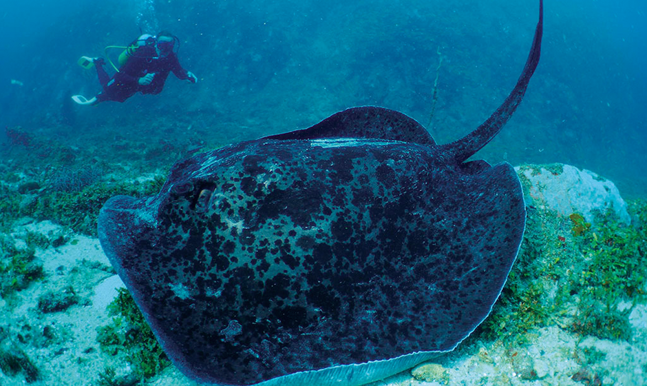 The incredible stingray