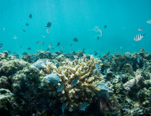 Coral restoration at Constance L├®muria, Seychelles