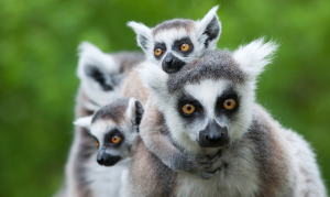 The unique lemurs of Madagascar