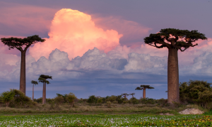 Dramatic landscapes: The Baobab trees of Madagascar