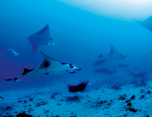 Swim with the amazing manta rays
