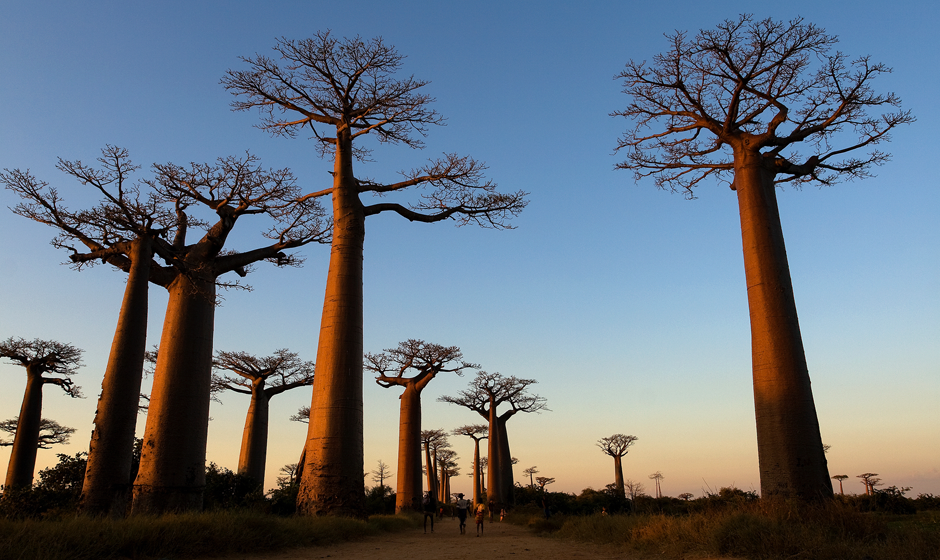 The extraordinary avenue of baobabs