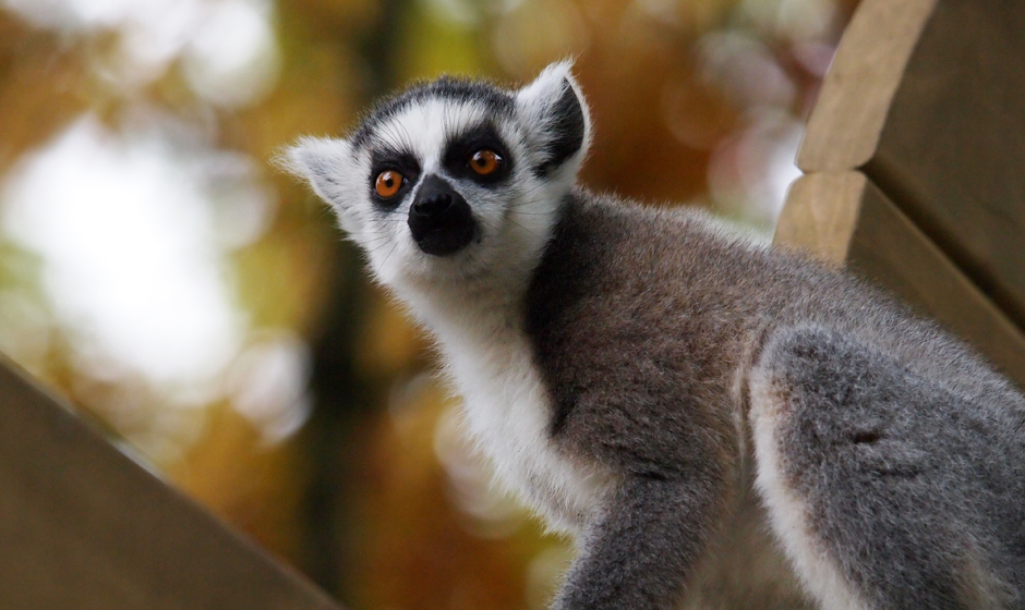 The ring tailed lemur
