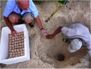 Robert & Adrian rescue the green turtle eggs