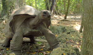Must see sights in the Seychelles: the Giant Aldabra Tortoise