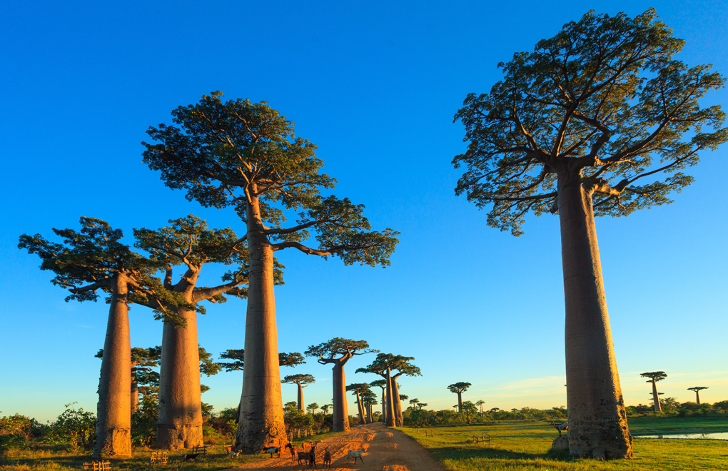 The avenue of Baobabs
