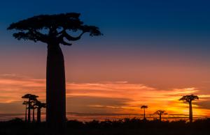 A Baobab sunset