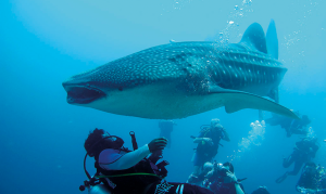 An encounter with a whale shark in the Maldives