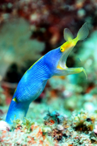 Underwater photography: capturing the Blue Ribbon Eel
