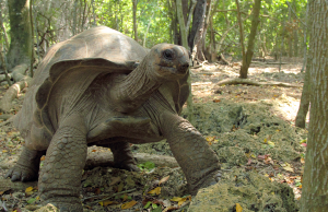 The Giant Aldabra Tortoise of the Seychelles