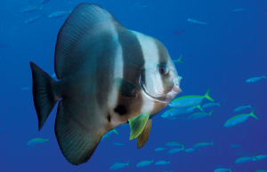 The wonderfully distinctive batfish