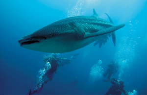 'Big Cats' of the ocean: The Whale Shark