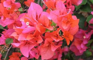 Mauritius Flowers
