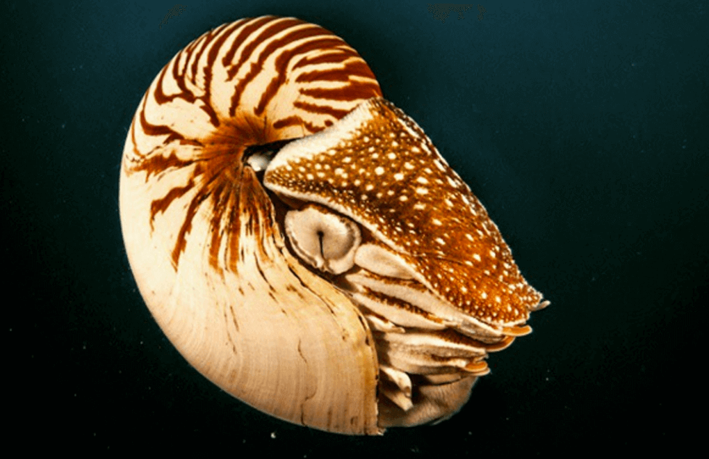 scuba diving nautilus