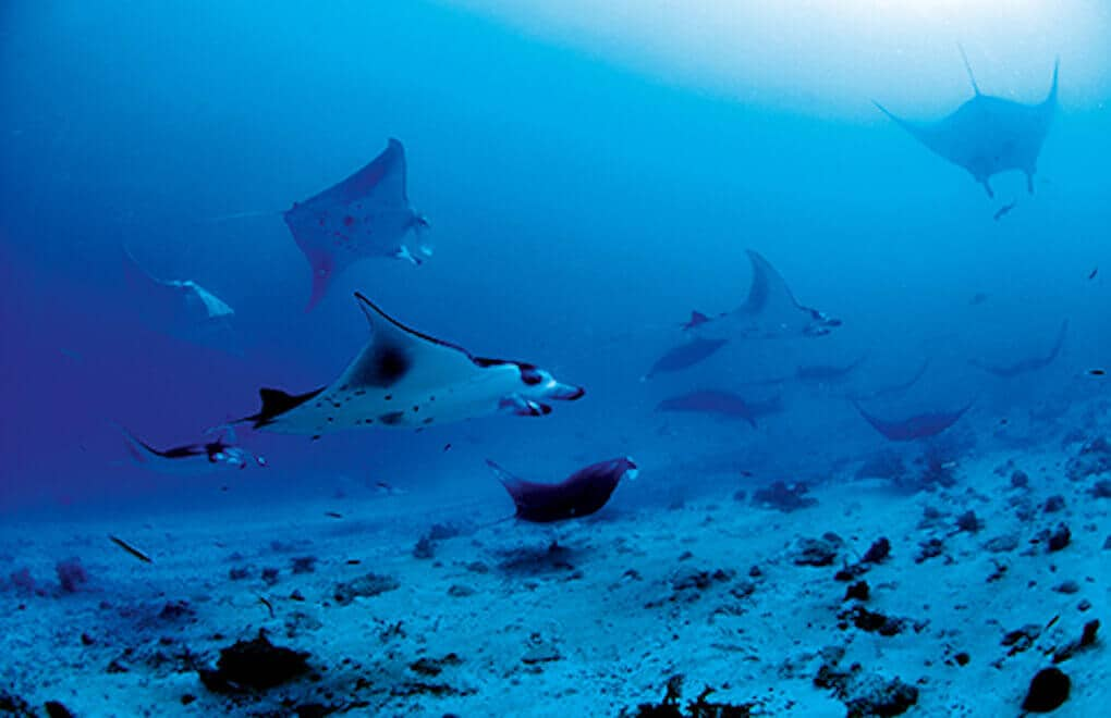 You can see Manta Rays on dives in the Maldives