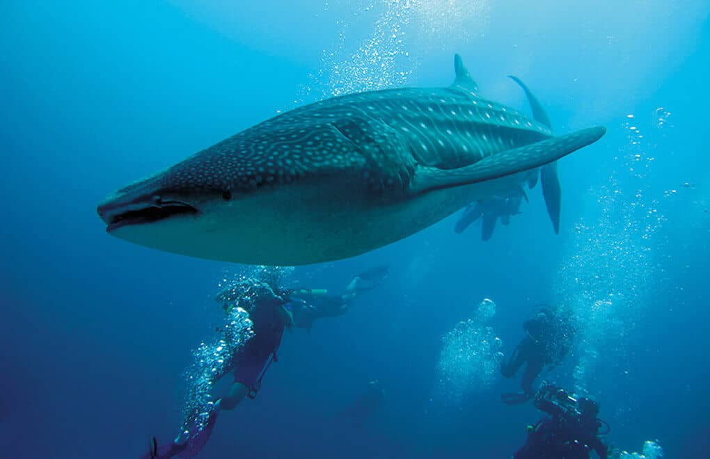 Dives in the Maldives offer sightings of the majestic whale shark