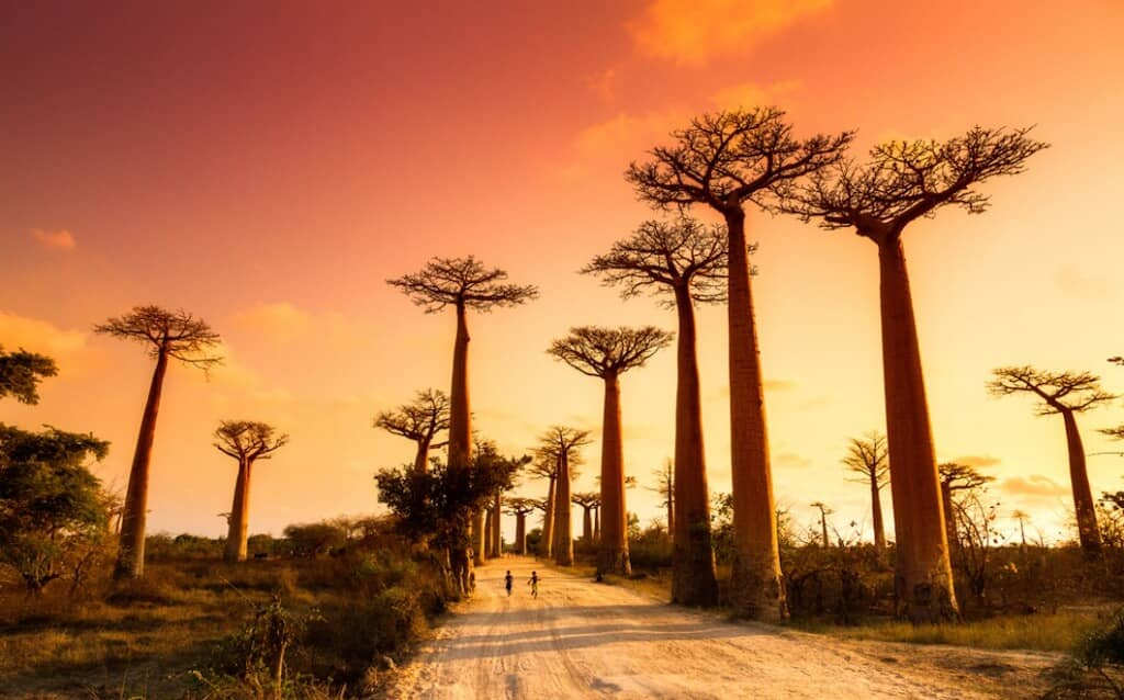 The Avenue of the Baobabs are very famous on Madagascar