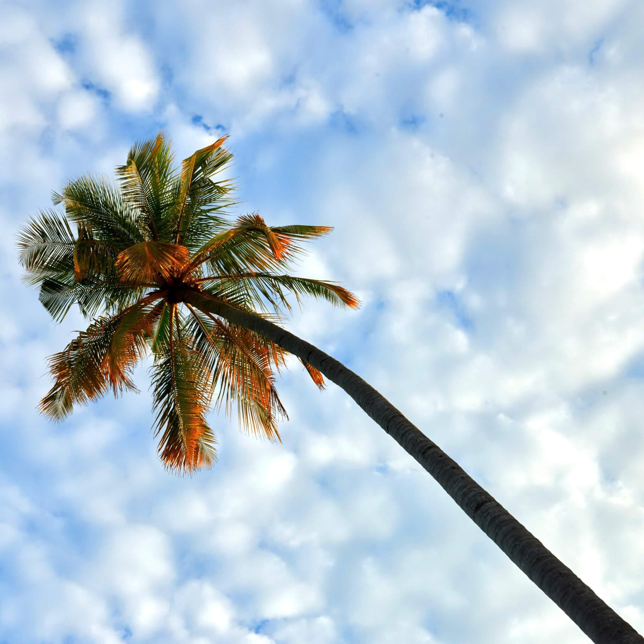 Palm tree at Constance Halaveli Maldives