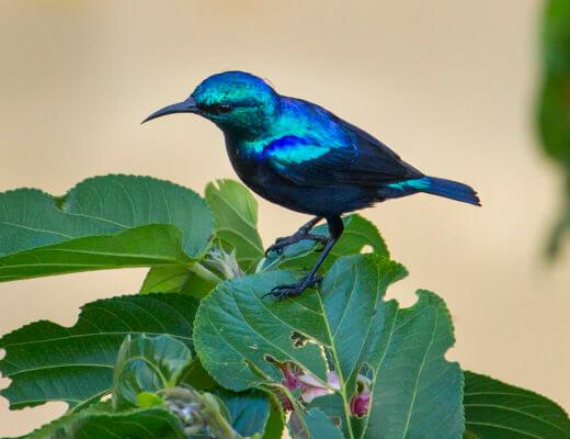 The beautiful blue Pemba Sunbird
