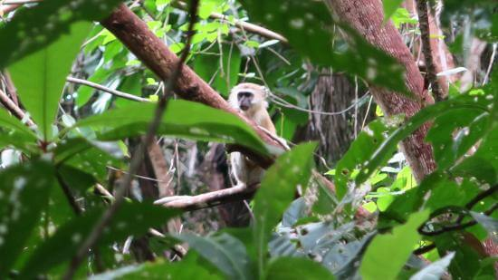 Colobus monkey in the trees