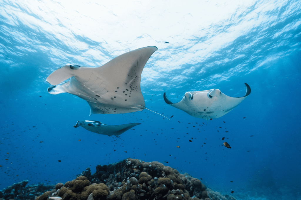 Manta Rays in the Indian oCEAN